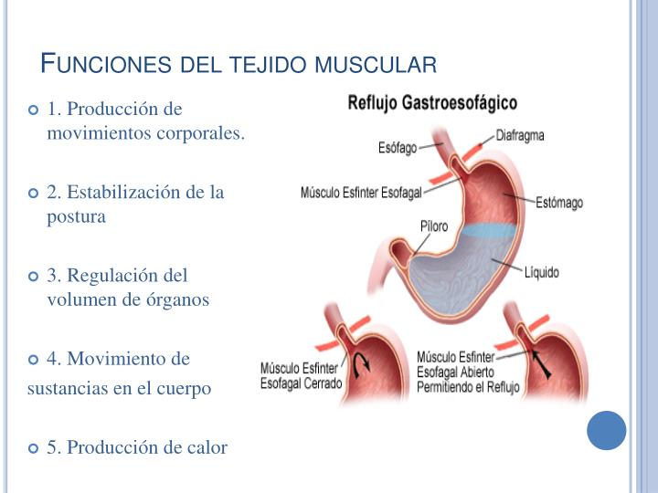 Funciones del tejido muscular