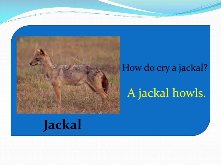 How do cry a jackal?