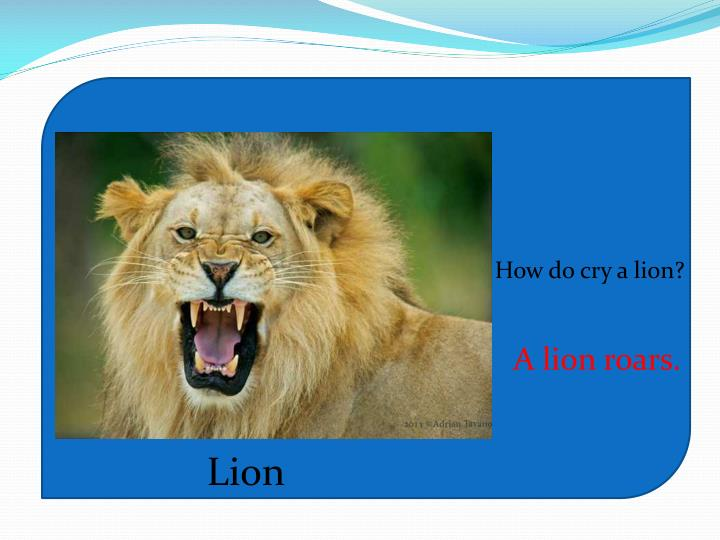 How do cry a lion?