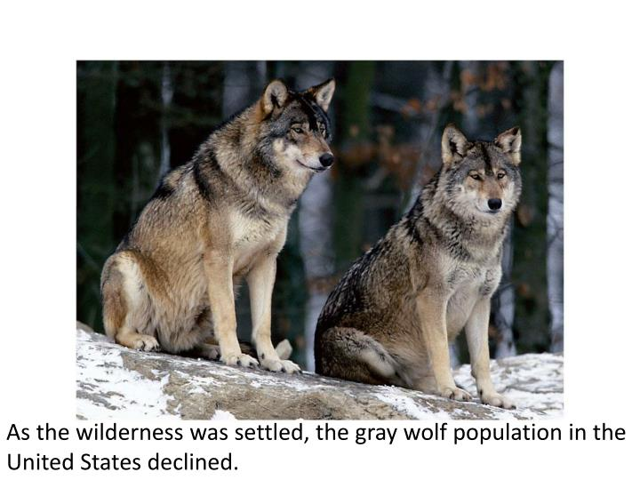 As the wilderness was settled, the gray wolf population in the United States declined.