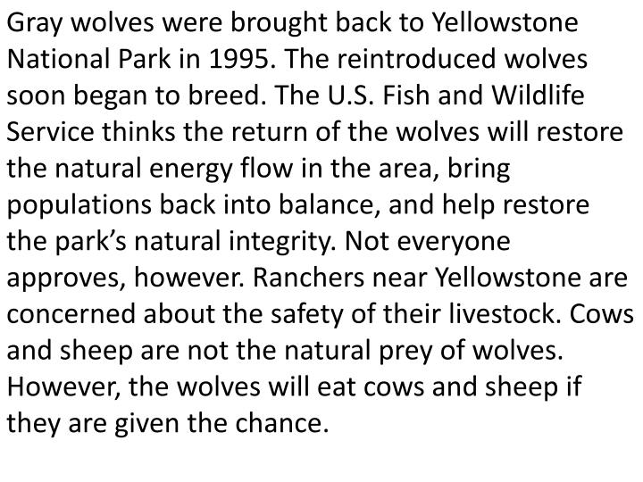 Gray wolves were brought back to Yellowstone National Park in 1995. The reintroduced wolves soon began to breed. The U.S. Fish and Wildlife Service thinks the return of the wolves will restore the natural energy flow in the area, bring populations back into balance, and help restore the park's natural integrity. Not everyone approves, however. Ranchers near Yellowstone are concerned about the safety of their livestock. Cows and sheep are not the natural prey of wolves. However, the wolves will eat cows and sheep if they are given the chance.