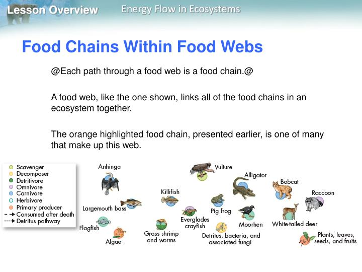 Food Chains Within Food Webs