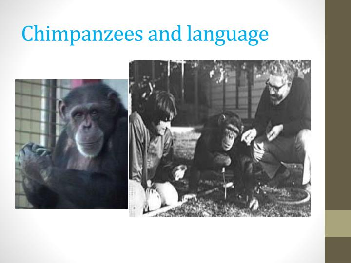 Chimpanzees and language