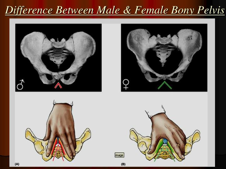 Difference Between Male & Female Bony Pelvis