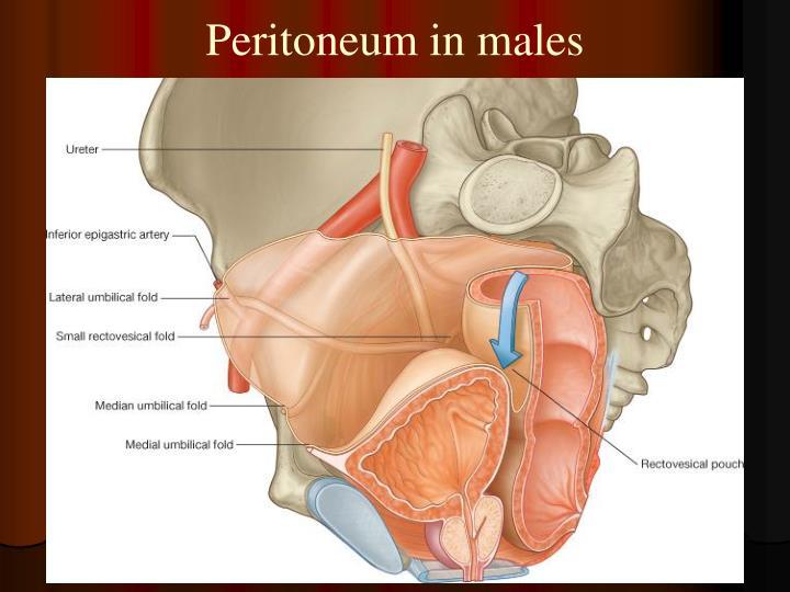 Peritoneum in males
