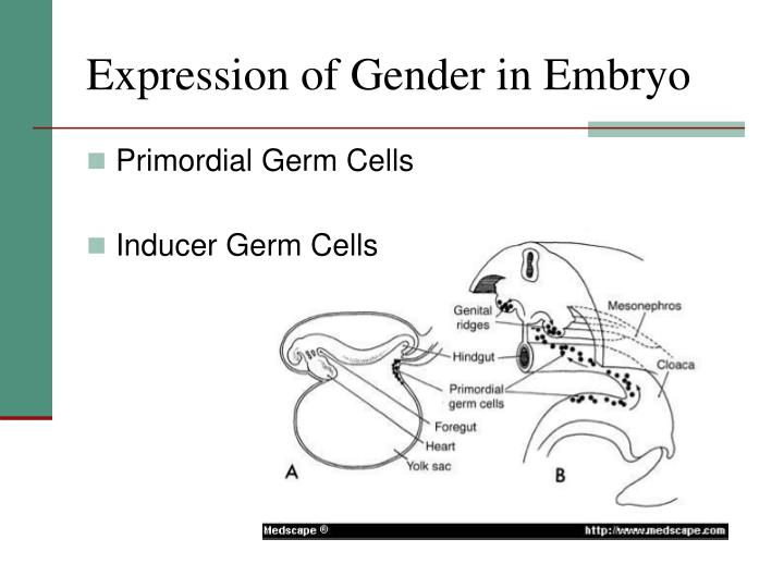 Expression of Gender in Embryo