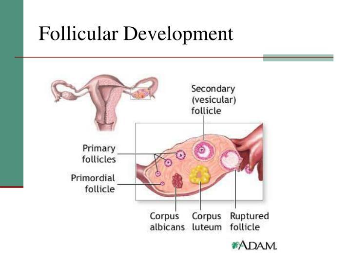 Follicular Development