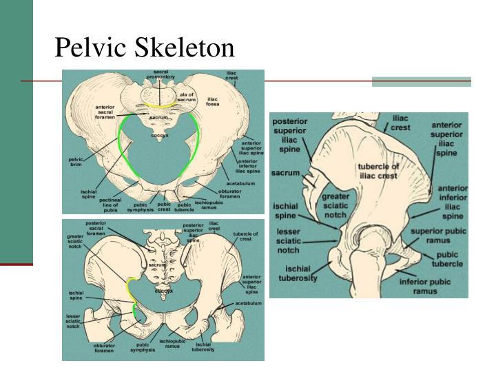 Pelvic Skeleton