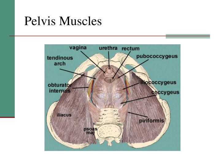 Pelvis Muscles