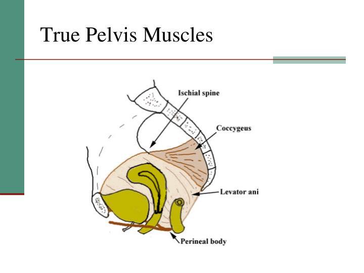 True Pelvis Muscles