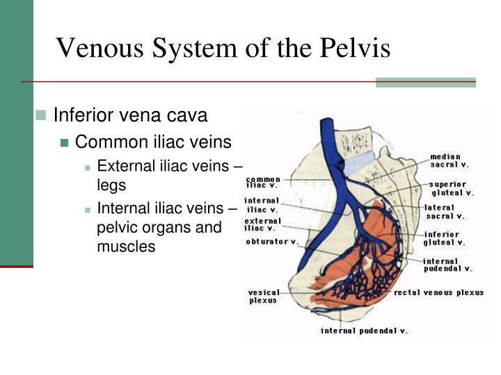 Venous System of the Pelvis