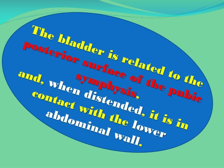 The bladder is related to the
