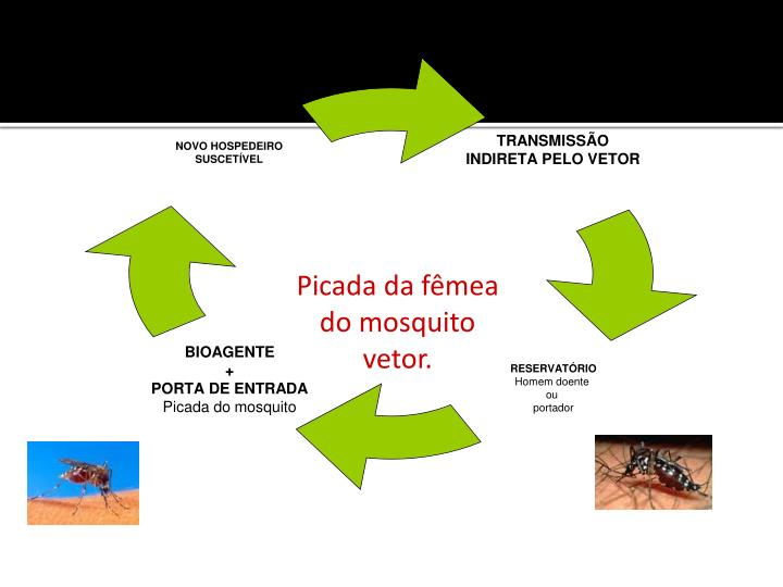 Picada da fêmea do mosquito vetor.