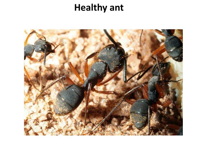 Healthy ant