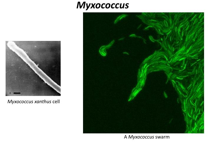 Myxococcus