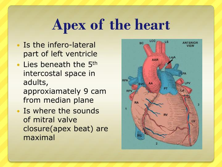 Apex of the heart