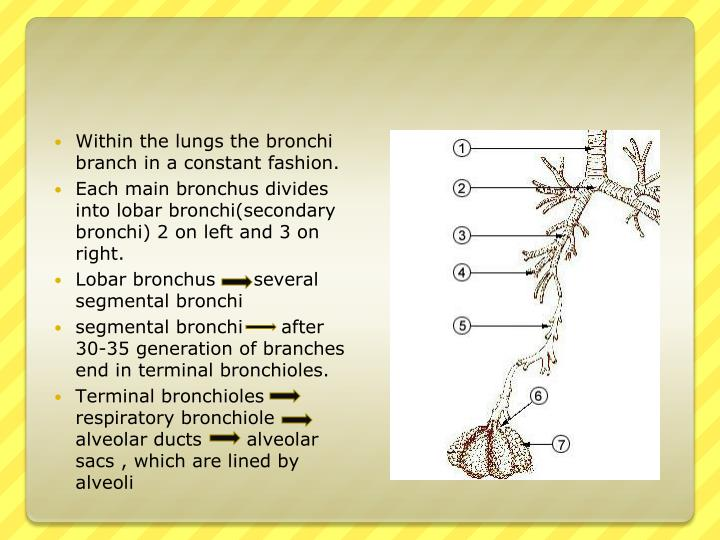 Within the lungs the bronchi branch in a constant fashion.