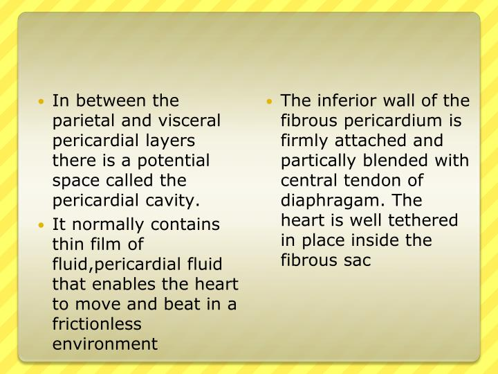 In between the parietal and visceral pericardial layers there is a potential space called the pericardial cavity