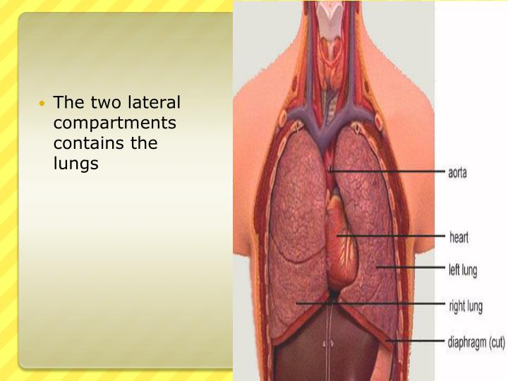 The two lateral compartments contains the lungs