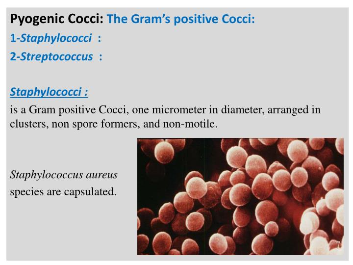 Pyogenic cocci the gram s positive cocci 1 staphylococci 2 streptococcus