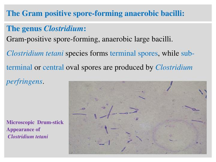 The Gram positive spore-forming anaerobic bacilli:
