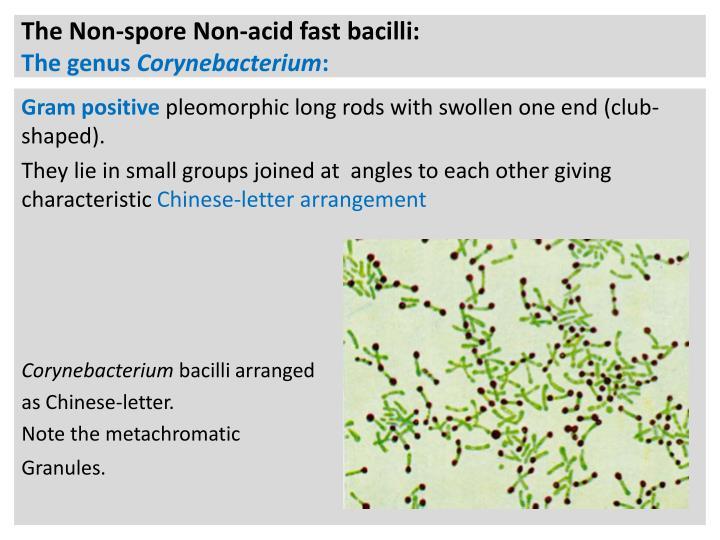 The Non-spore Non-acid fast bacilli:
