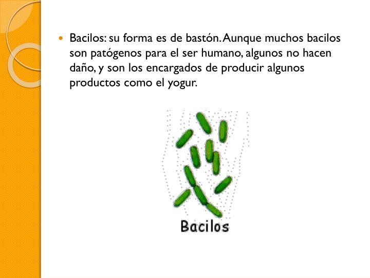 Bacilos: su forma es de bastón. Aunque muchos bacilos son patógenos para el ser humano, algunos no hacen daño, y son los encargados de producir algunos productos como el yogur.