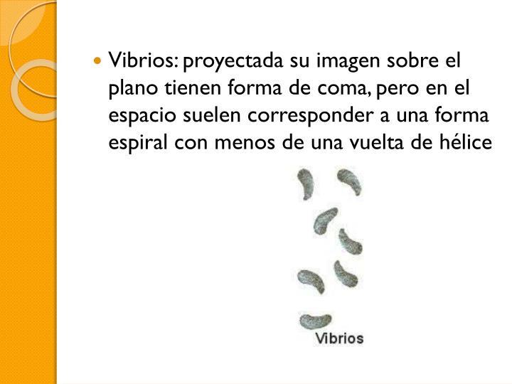 Vibrios: proyectada su imagen sobre el plano tienen forma de coma, pero en el espacio suelen corresponder a una forma espiral con menos de una vuelta de hélice