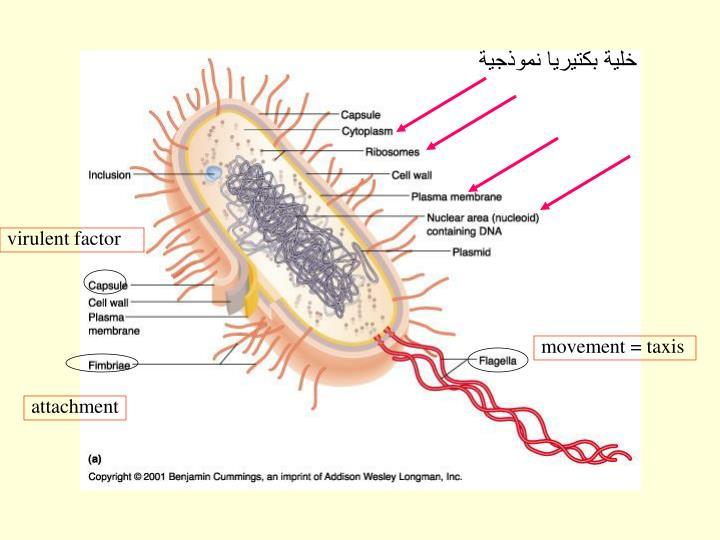 خلية بكتيريا نموذجية