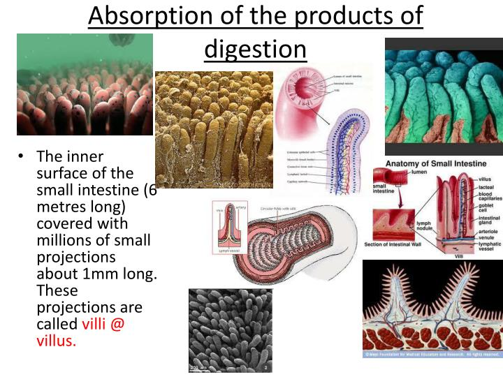 Absorption of the products of digestion