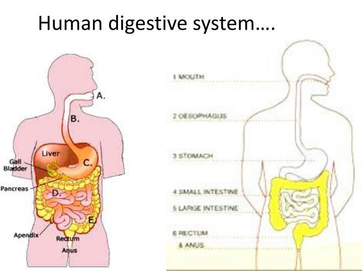 Human digestive system….