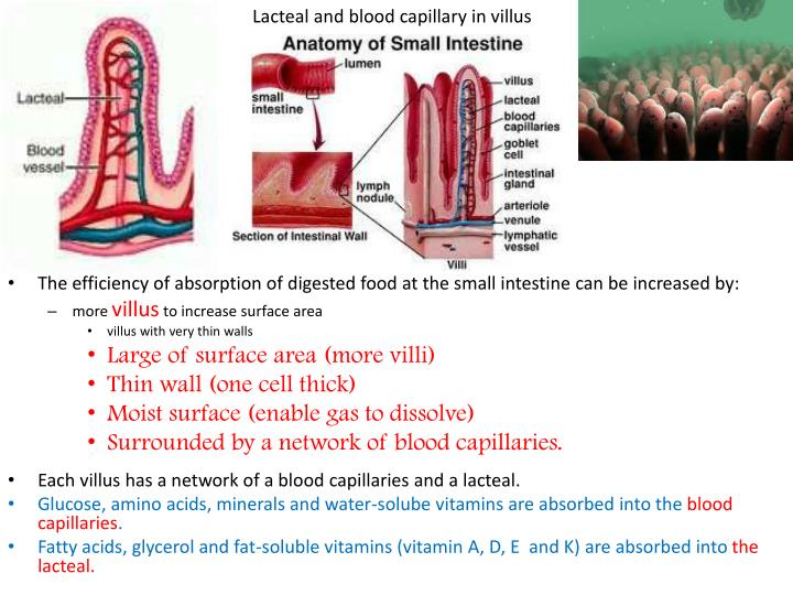 Lacteal and blood capillary in