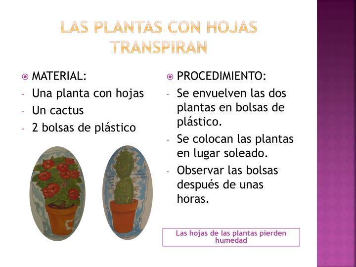 Las plantas con hojas transpiran