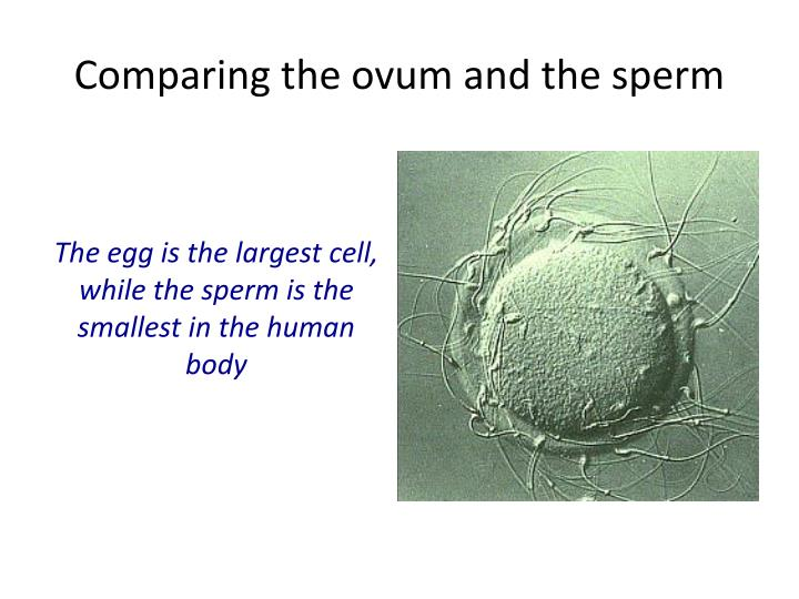 Comparing the ovum and the sperm