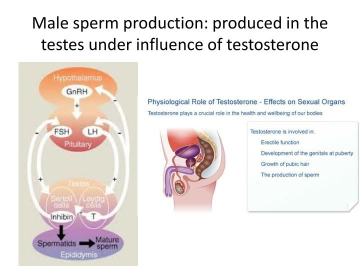 Male sperm production: produced in the testes under influence of testosterone