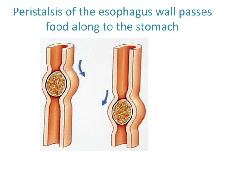 Peristalsis of the esophagus wall passes food along to the stomach
