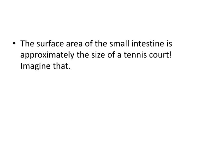 The surface area of the small intestine is approximately the size of a tennis court! Imagine that.