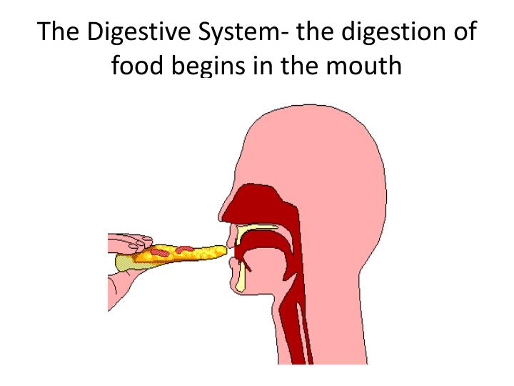 The digestive system the digestion of food begins in the mouth
