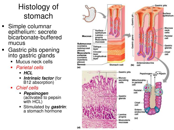 Histology of anal canal
