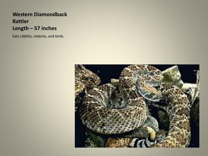 Western Diamondback Rattler