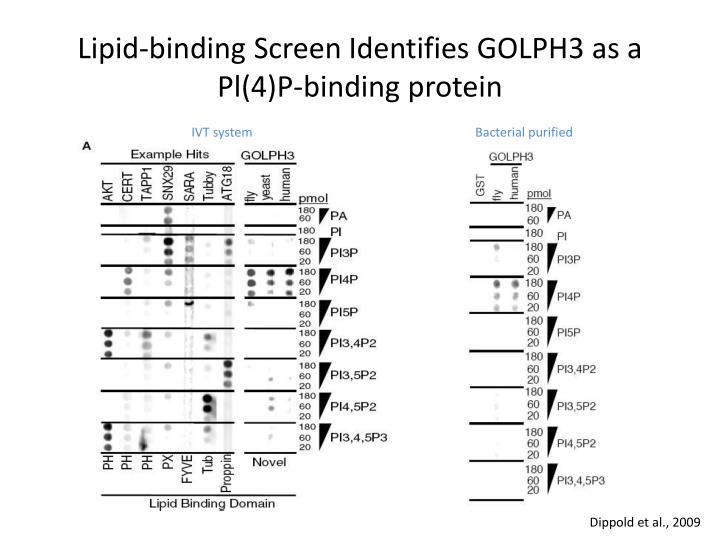 Lipid-binding Screen Identifies GOLPH3 as a Pl(4)P-binding protein