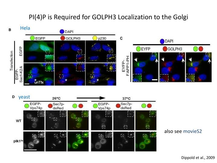 PI(4)P is Required for GOLPH3 Localization to the Golgi