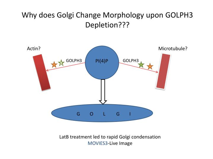 Why does Golgi Change Morphology upon GOLPH3 Depletion???