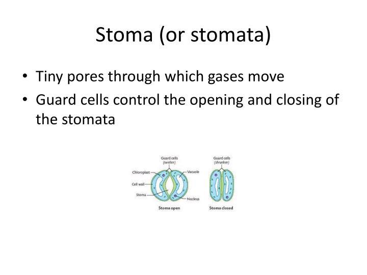Stoma (or stomata)