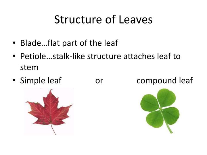 Structure of Leaves