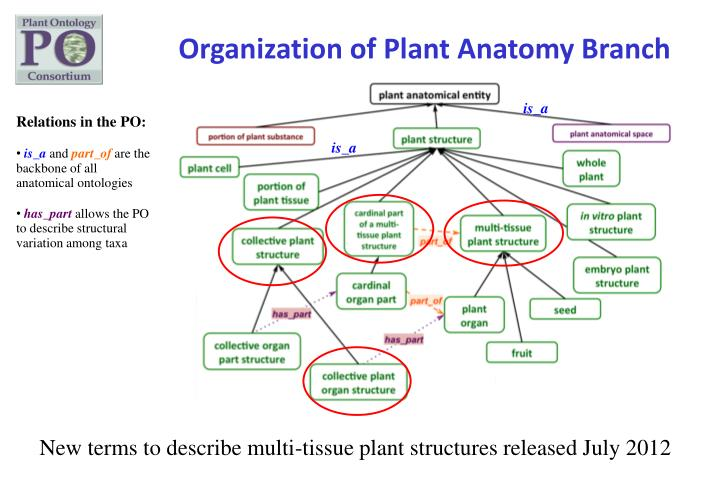 Organization of Plant Anatomy Branch