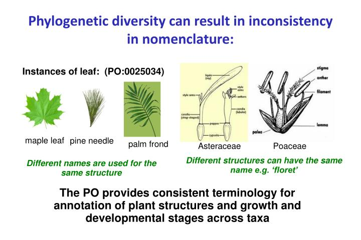 Phylogenetic diversity can result in inconsistency in nomenclature: