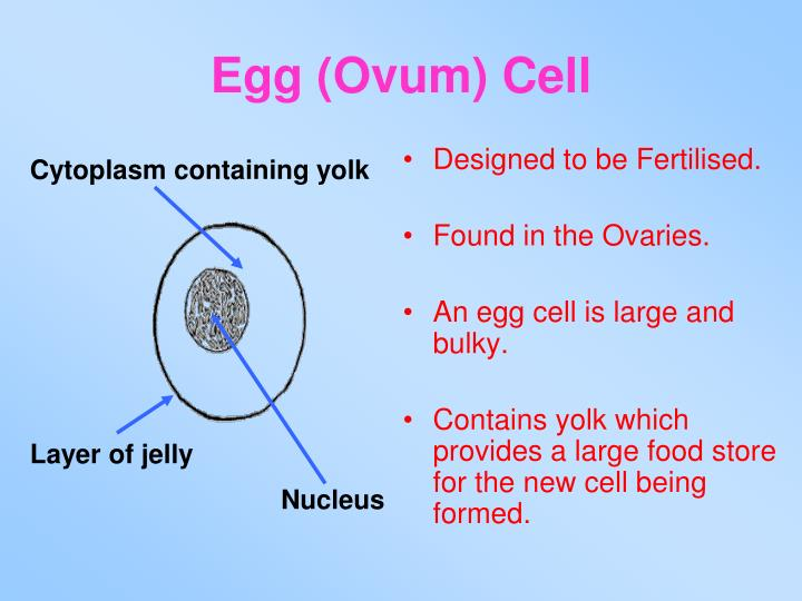 Egg (Ovum) Cell