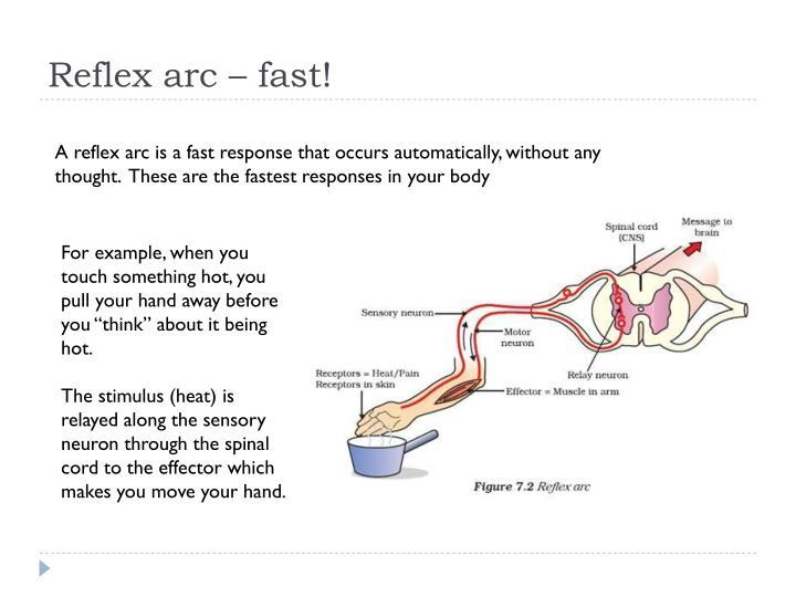 Reflex arc – fast!