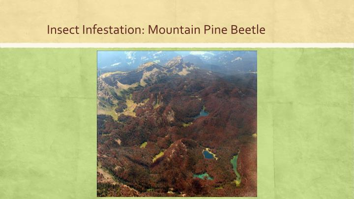 Insect Infestation: Mountain Pine Beetle